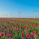 Tulpen en windturbines, IStock
